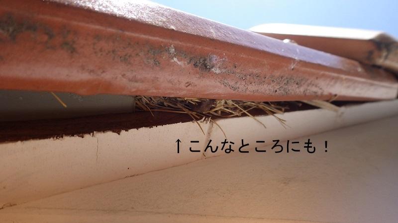 ちょっとした瓦の隙間に営巣